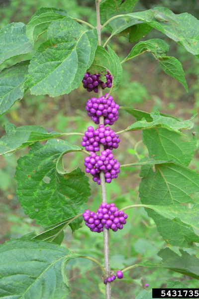 American Berry Bush (beautyberry)