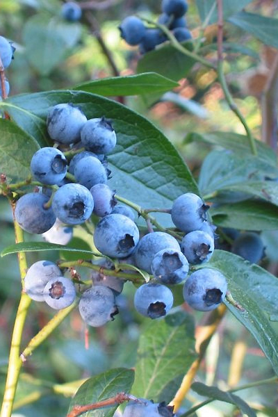 Blueberry Highbush