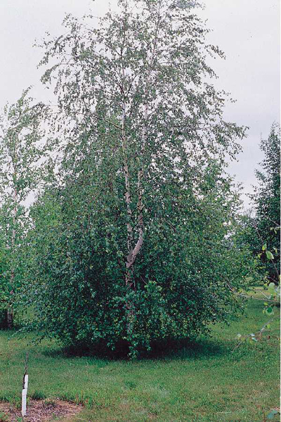 Native Birch